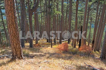Pine wood on slopes Ah-petri