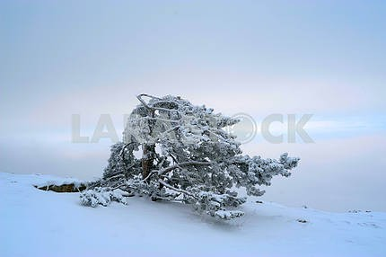 The Crimean pine in snow
