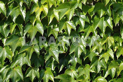 Green leaves of an ivy as a background
