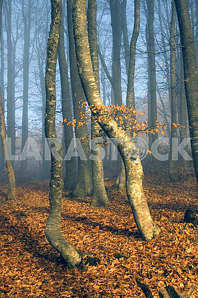 Beechen wood in a blue fog