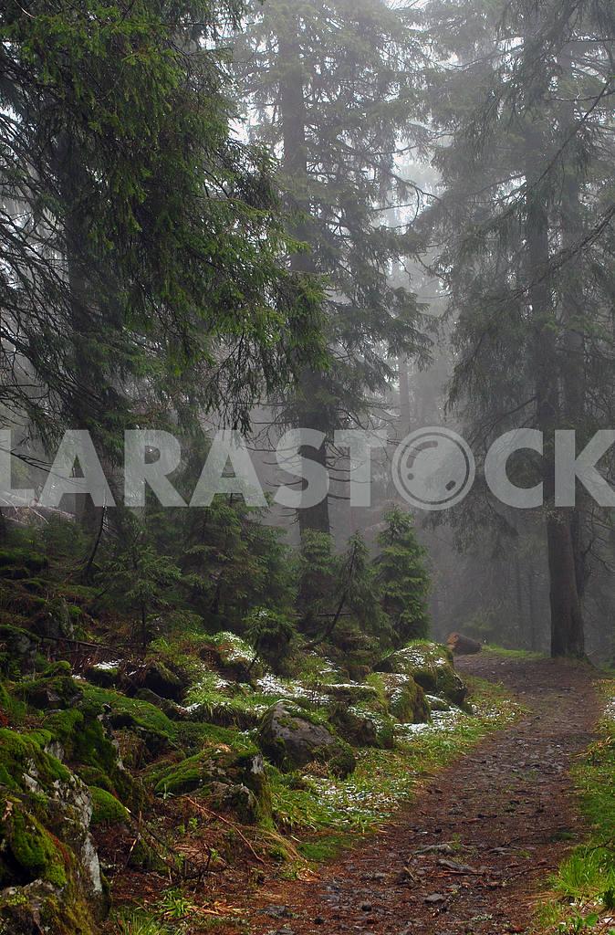 Wood footpath in foggy coniferous wood — Image 3828