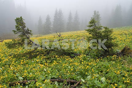 Fur-trees on a bog among yellow flowers