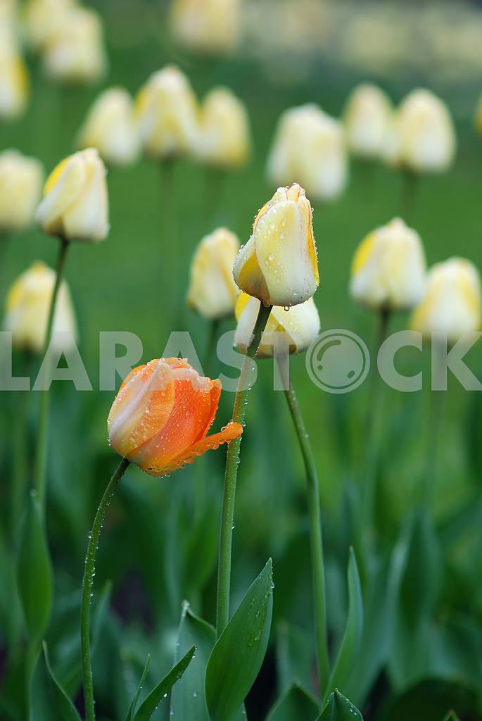 Yellow tulips  — Image 3867