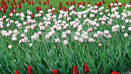Lawn of white and red tulips
