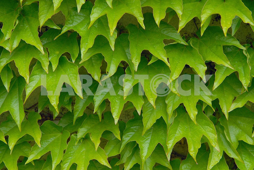 Green leaves of an ivy as a background — Image 3869