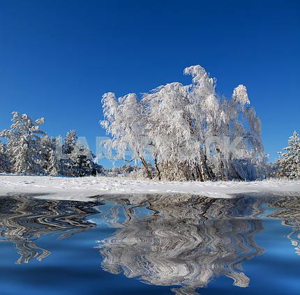 Winter birch wood