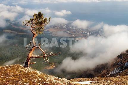 The Crimean pine over breakage