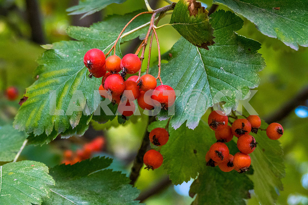 Red berries and leaves of mountain ash — Image 38861
