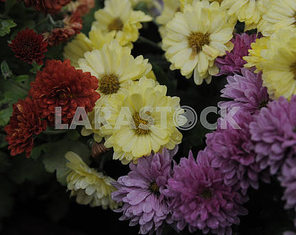 "Exhibition of chrysanthemums ""Melody of Autumn"""