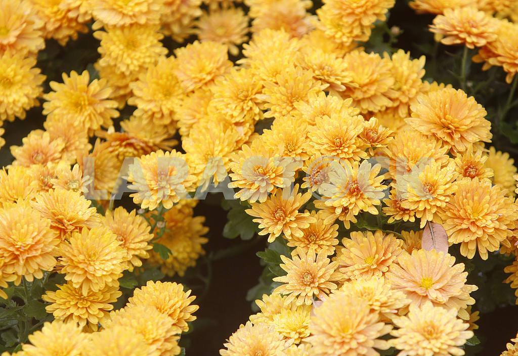 Orange and yellow chrysanthemums — Image 38896