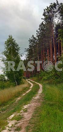 Footpath in coniferous wood