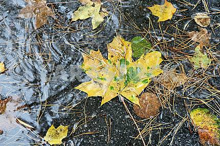 Fallen leaves of maple
