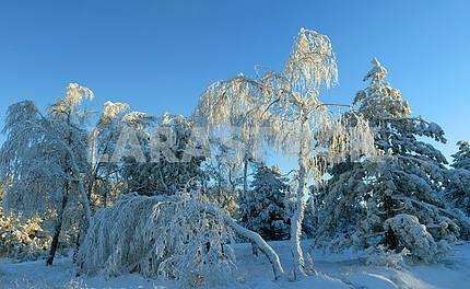 Панорама зимнего леса