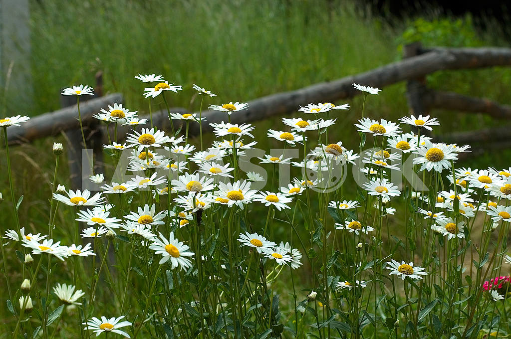 Camomiles on a meadow  — Image 3945