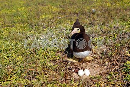 Bird near a nest with eggs