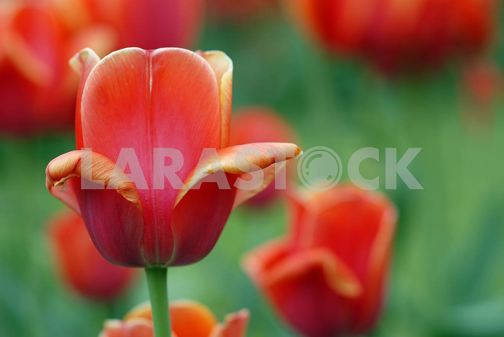 Flower of a red tulip — Image 3972