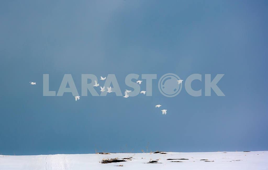 Стайка тундряных куропаток — Изображение 3983