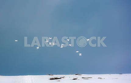 A flock of tundra partridge
