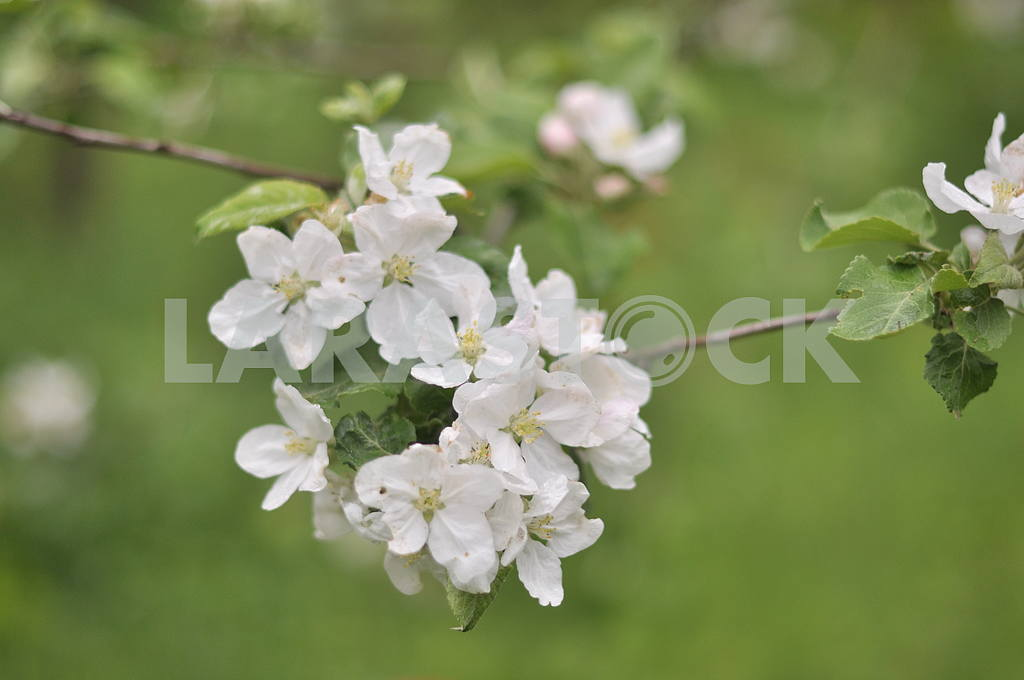 White apple tree — Image 4044