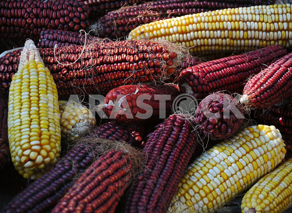 Pile of corn — Image 4222