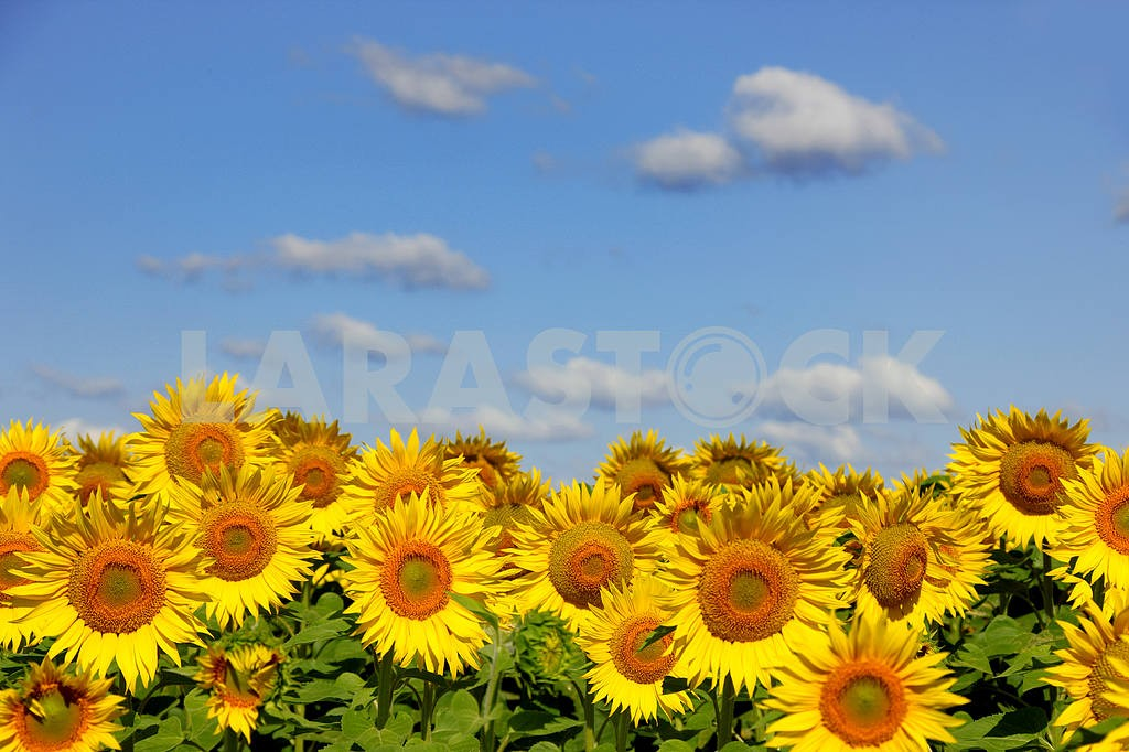 Sunflowers on an early morning in a field — Image 4387