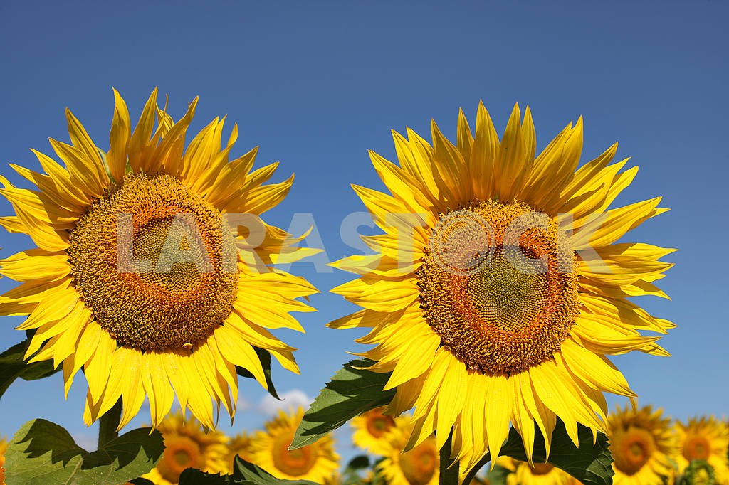 Two sunflowers on an early morning in a field — Image 4388