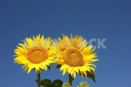 Two sunflowers on an early morning in a field