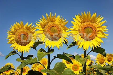 Three sunflowers on an early morning in a field