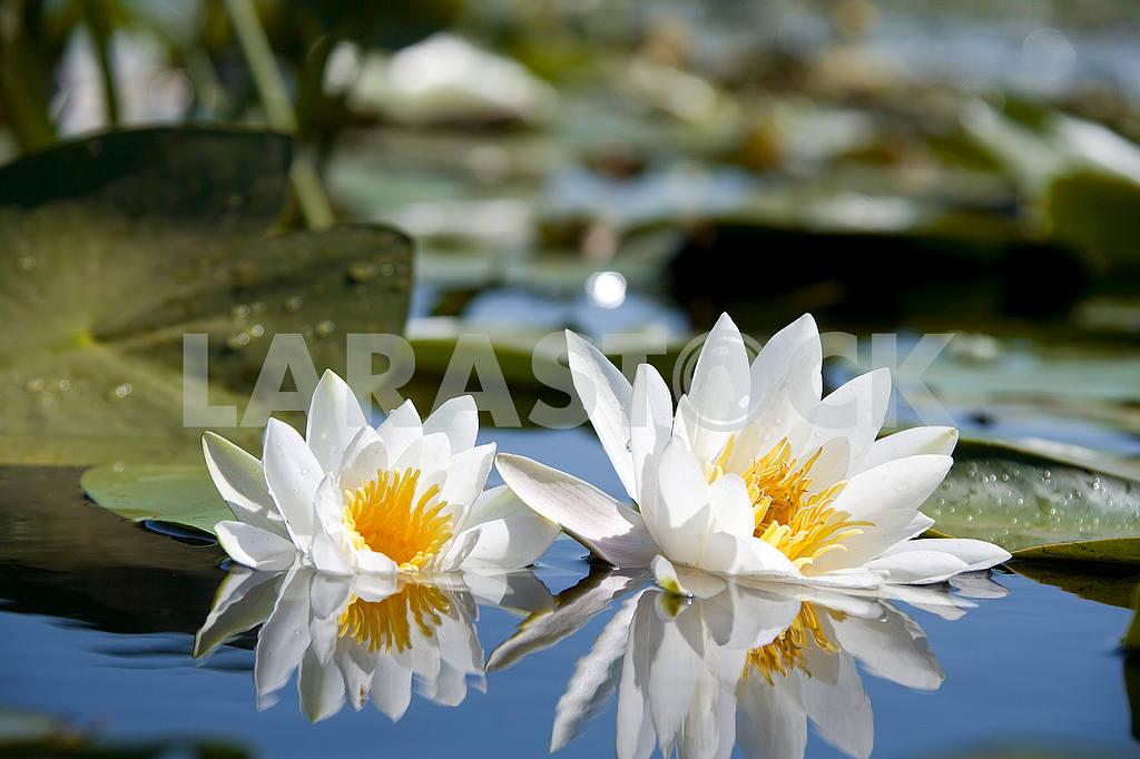 Water-lilies — Image 4408
