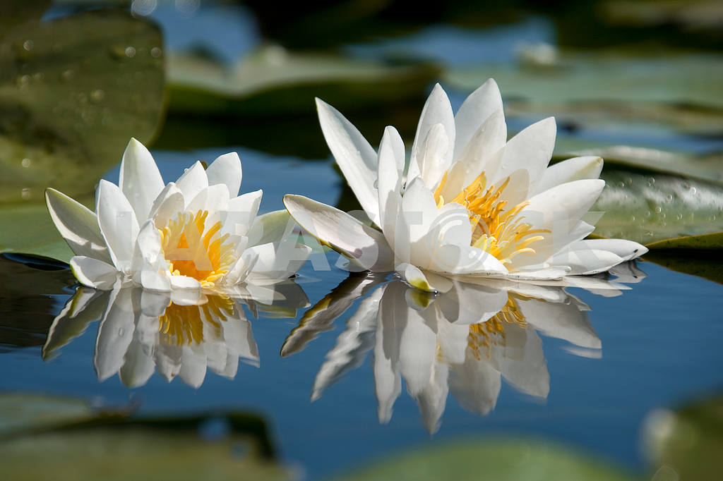 White Liliy — Image 4409