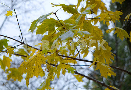 Snow on the yellow-green leaves