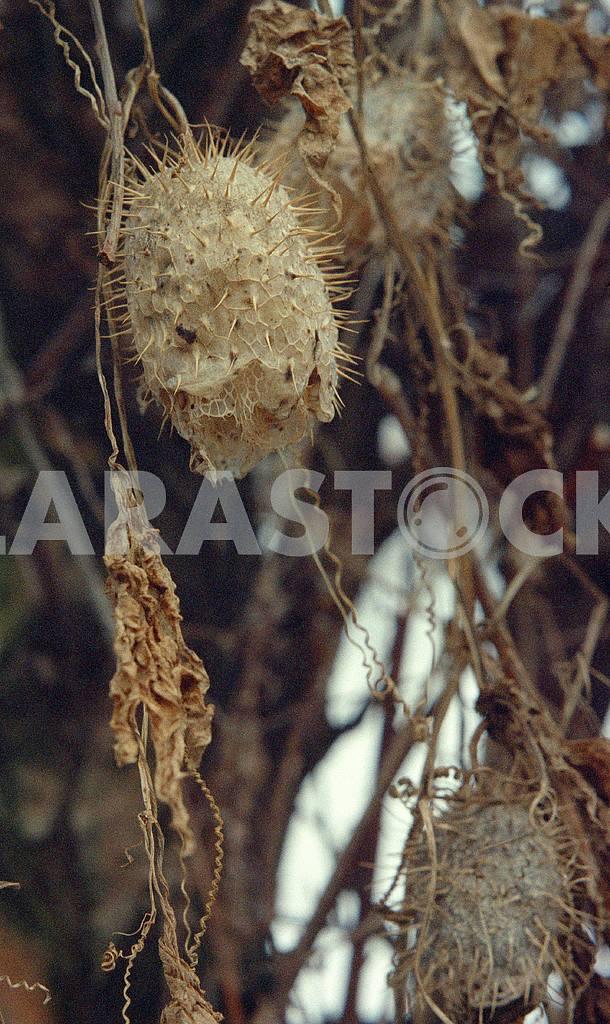 Бешеный огурец — Изображение 46095