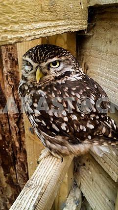 Samll Brown Owl