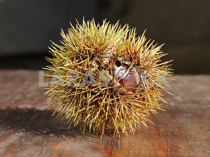 Hedgehog-Chestnut