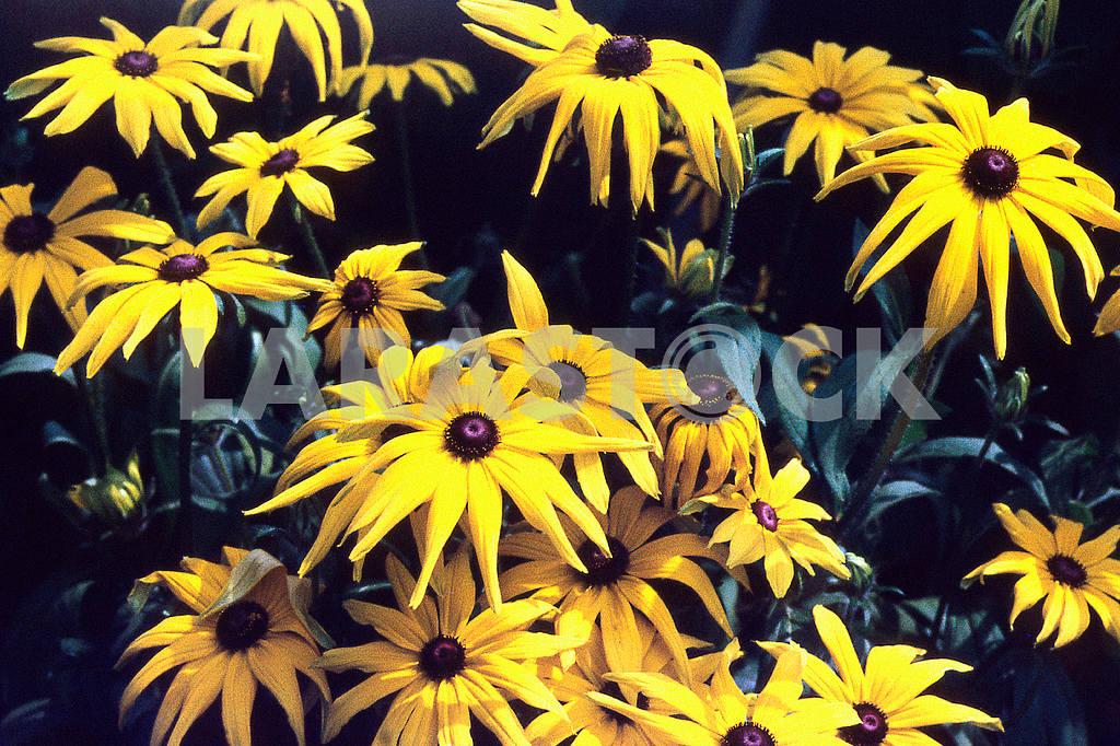 Echinacea flowers — Image 47736