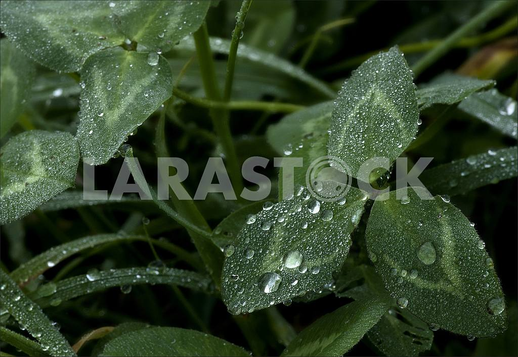 Texture-grass with three leaves covered with drops of dew. — Image 47781