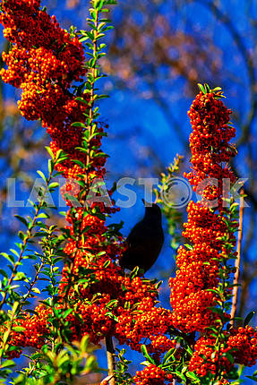 Starling on a branch with juicy fruits of sea buckthorn