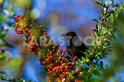 Starling eats juicy fruits of sea buckthorn