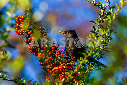 Starling eats juicy fruits of sea buckthorn