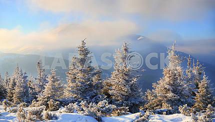 Заснеженные ели на фоне гор,  синего неба с облаками, Карпаты, Украина
