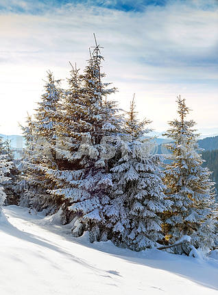 Christmas fir with snow background of mountains. Sunny day, wint