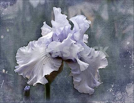 Pale lilac iris flower. Processing in the style of painting.