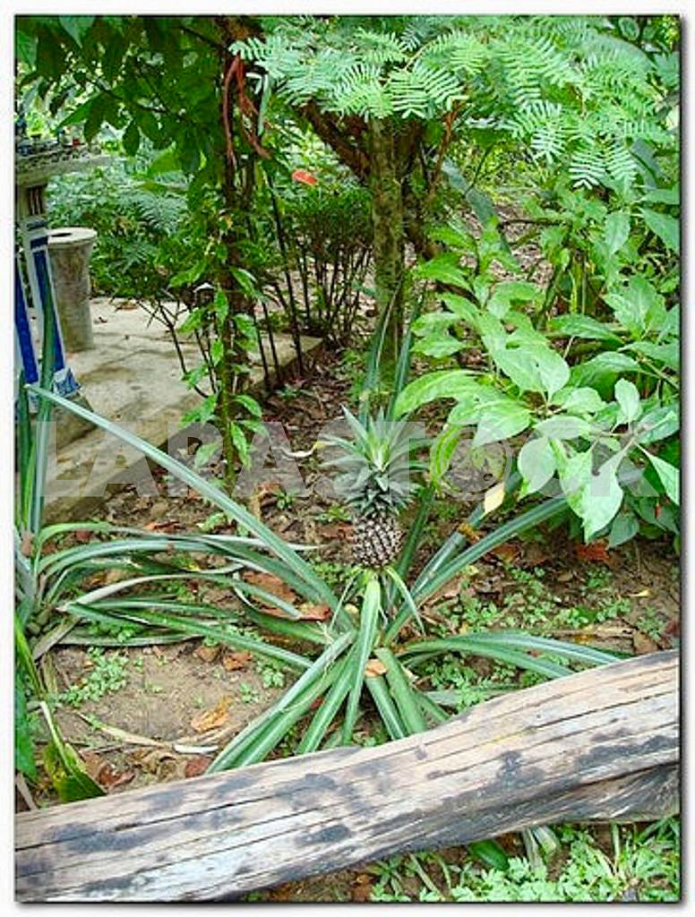 So growing a pineapple — Image 47943