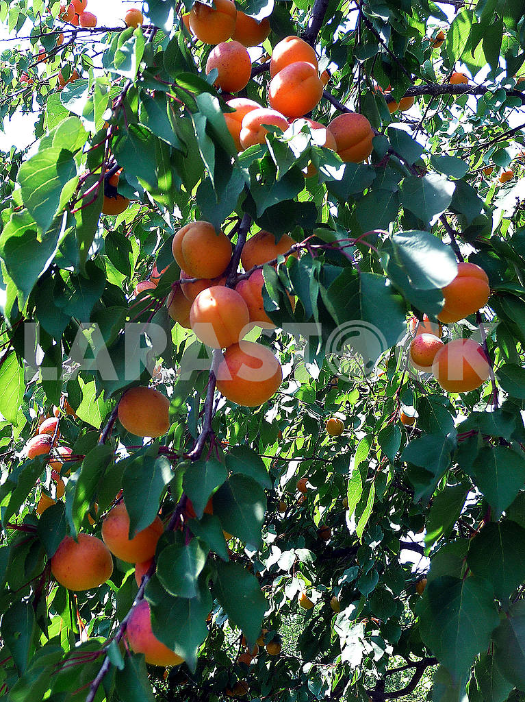 Apricots in the garden — Image 48015
