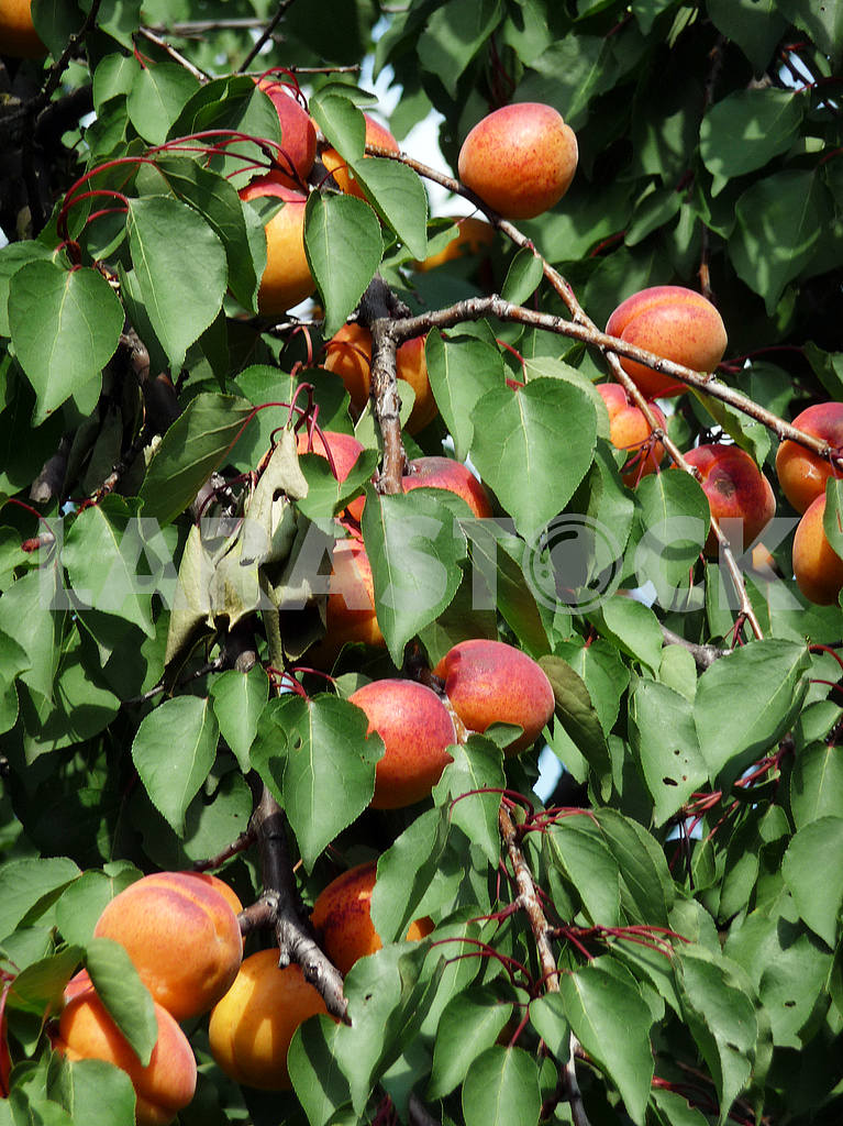 Apricots in the garden — Image 48018