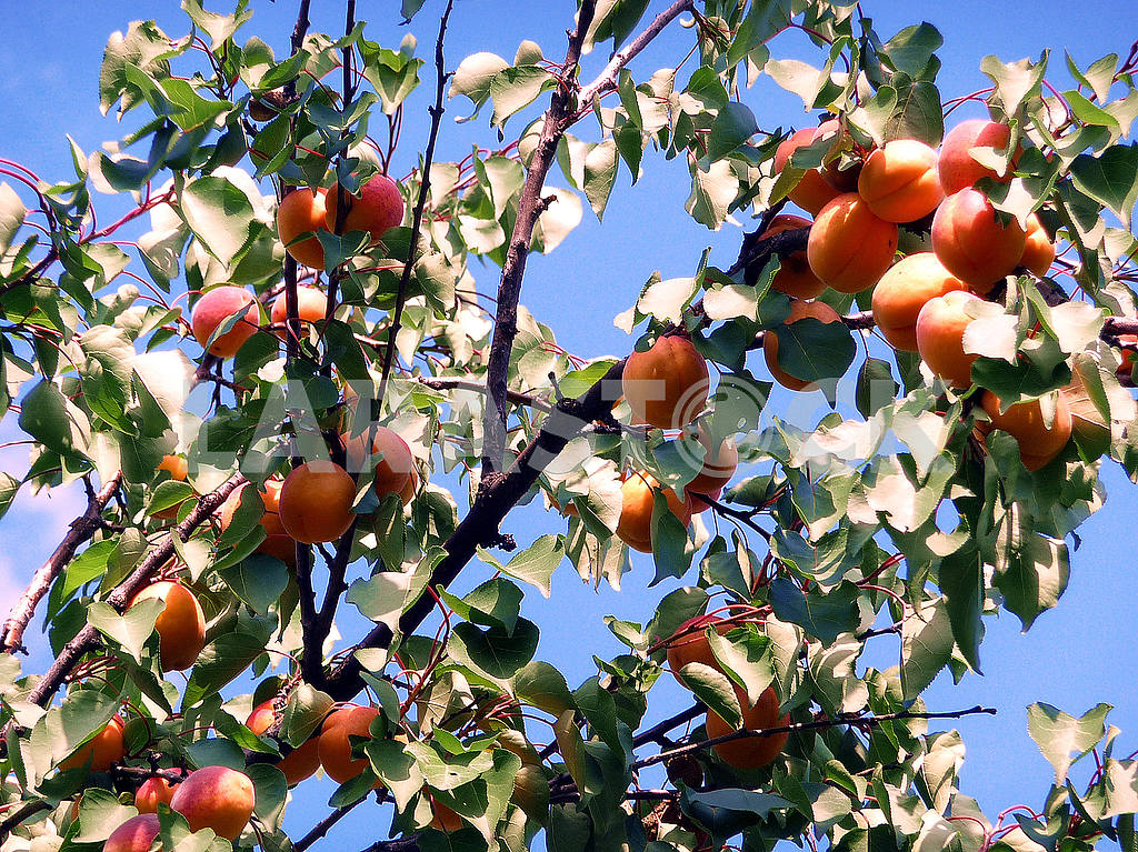 Apricots in the garden — Image 48019