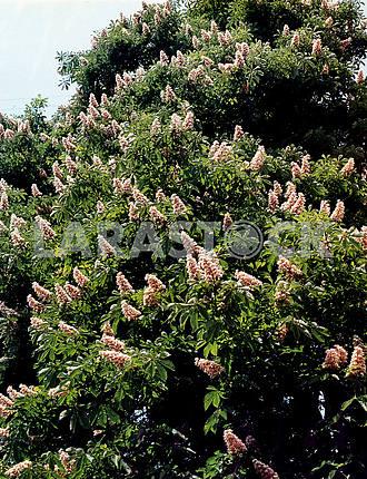 Flowering chestnuts