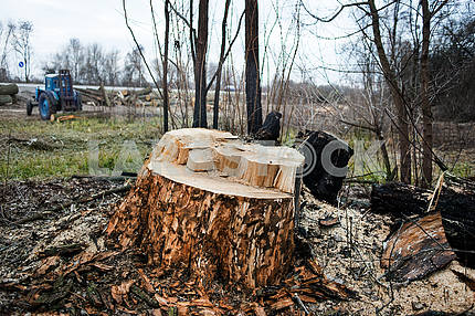 Deforestation. Felled trees.
