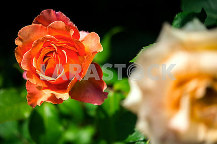 Orange blooming rose in the garden