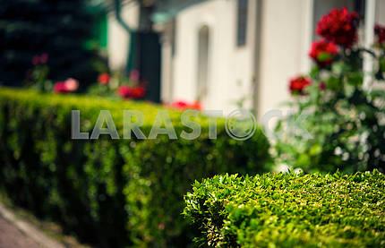 Обрезанный самшит кустарника в домашнем саду